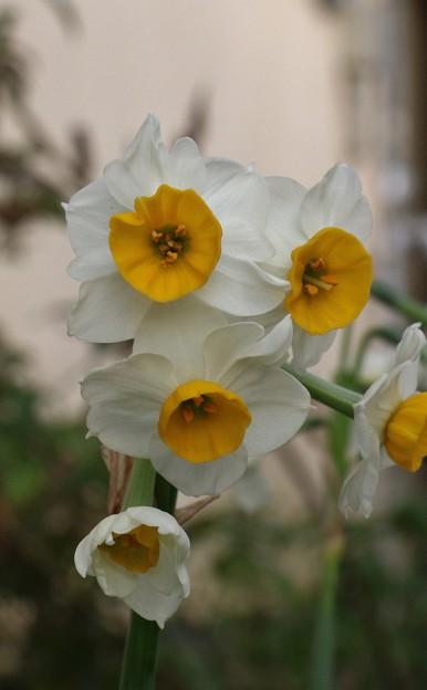 庭のスイセン(水仙)   ヒガンバナ科 別名:セッチュウカ(雪中花)