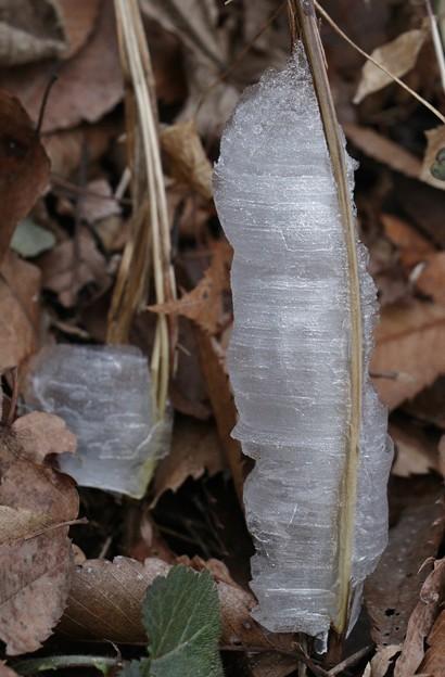 融け初めのシモバシラ(霜柱) シソ科の氷柱