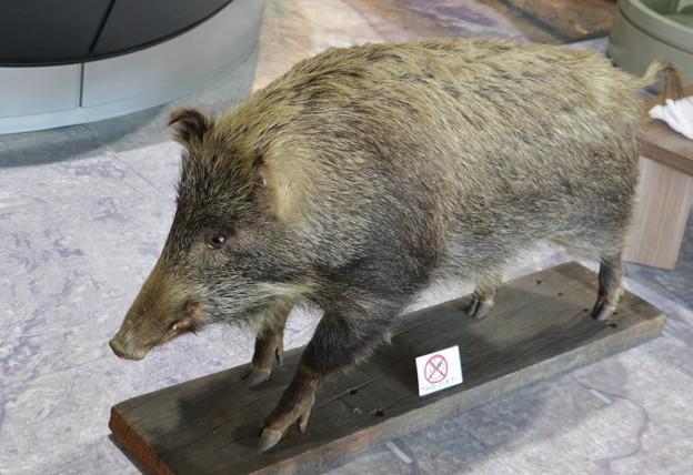でた~?森林公園バードピア浜北猪剥製雌