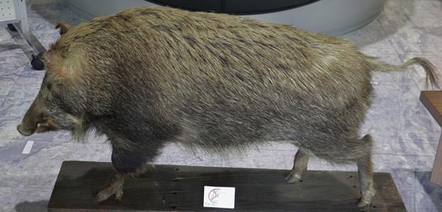 森林公園バードピア浜北剥製猪雌