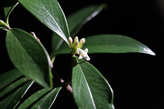 コショウノキ(胡椒の木) ジンチョウゲ科