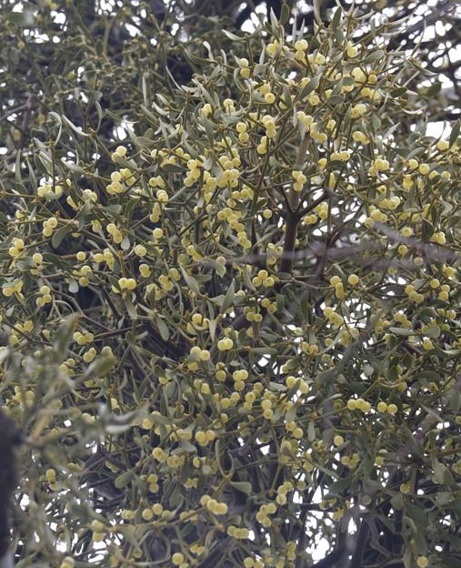 ヤドリギ(宿り木、宿木、寄生木) ビャクダン科実