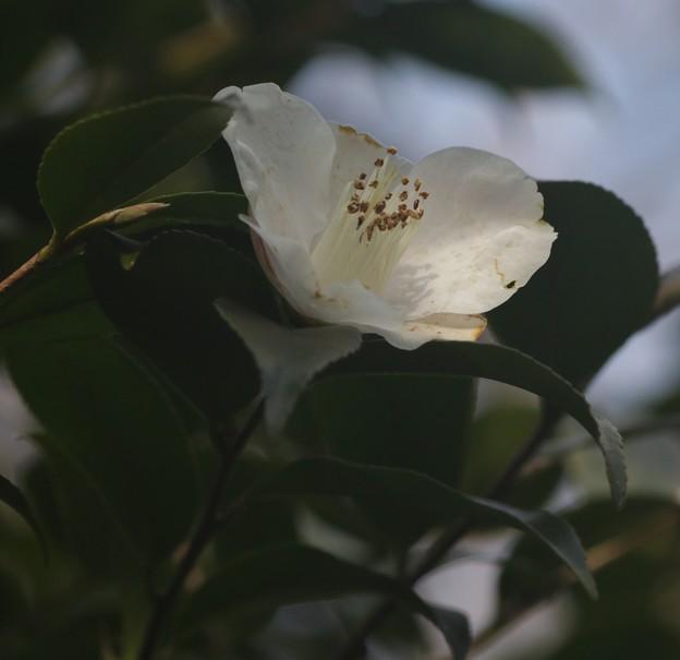 椿:シュンプウ(春風) ツバキ科