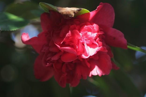 椿:ナンバンコウ(南蛮紅) ツバキ科