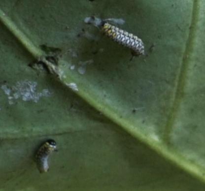 アサギマダ(浅葱斑) タテハチョウ科幼虫
