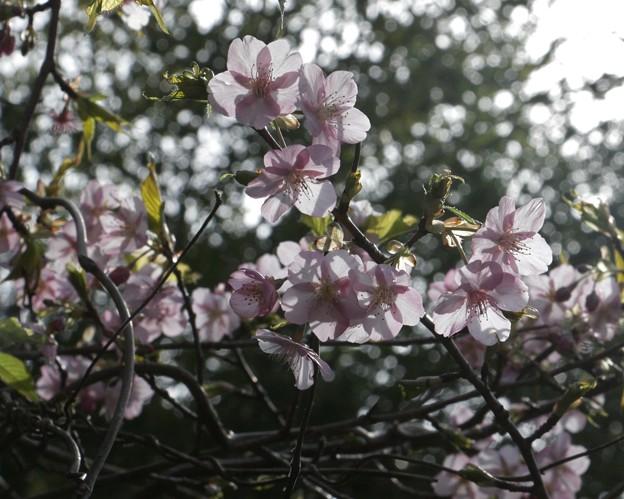 カンザクラ(寒桜) バラ科