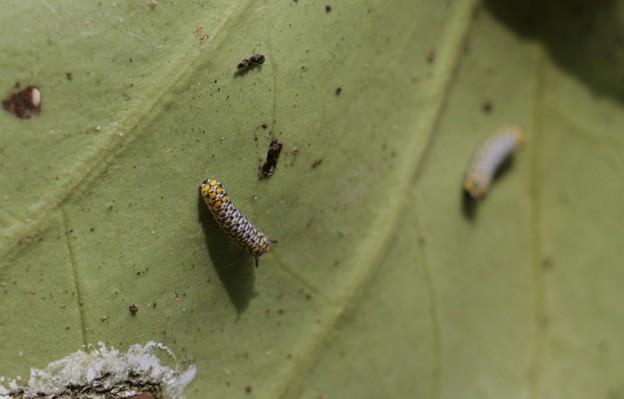 その後のアサギマダラの幼虫