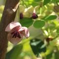 Photos: あけびの花が咲く頃思い出します。SBSテレビイブニングeye番組でアナンサー小沼みのりさんが写真撮っていた番組に自分もでていた。