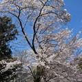 Photos: 秋葉ダム千本桜