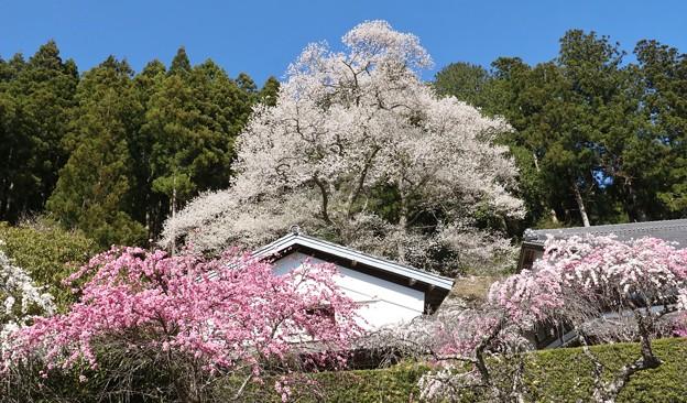 熊平家のハナモモ(花桃)バラ科とエドヒガンザクラ(江戸彼岸桜)ウスズミザクラ(薄墨桜) バラ科
