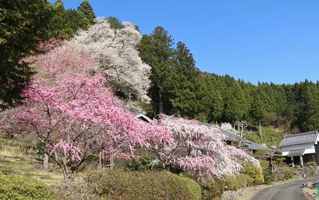 熊平家のハナモモ(花桃)バラ科エドヒガンザクラ(江戸彼岸桜)ウスズミザクラ(薄墨桜) バラ科