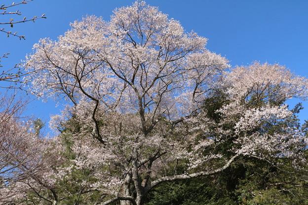 熊平のエドヒガンザクラ(江戸彼岸桜)ウスズミザクラ(薄墨桜) バラ科