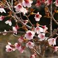Photos: マメザクラ(豆桜) バラ科 別名:フジザクラ(富士桜)ハコネザクラ(箱根桜)