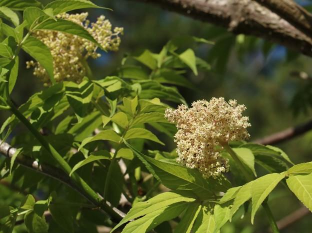 ニワトコ(接骨木、庭常) スイカズラ科
