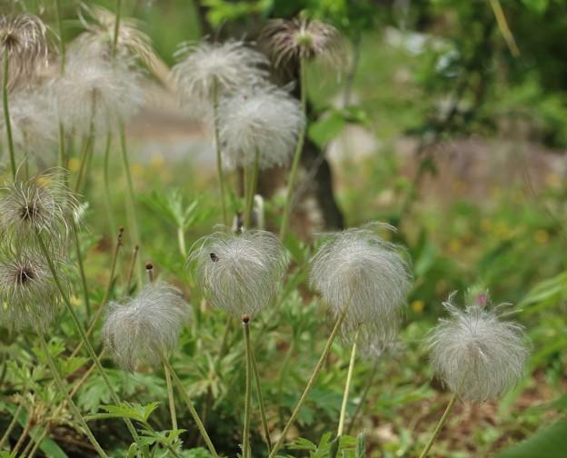 オキナグサ(翁草) キンポウゲ科