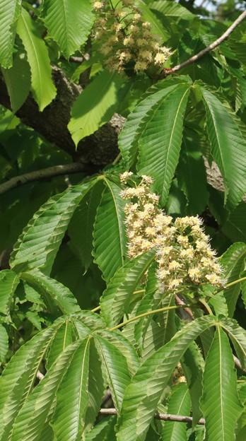 トチノキ(栃、橡、栃の木) トチノキ科