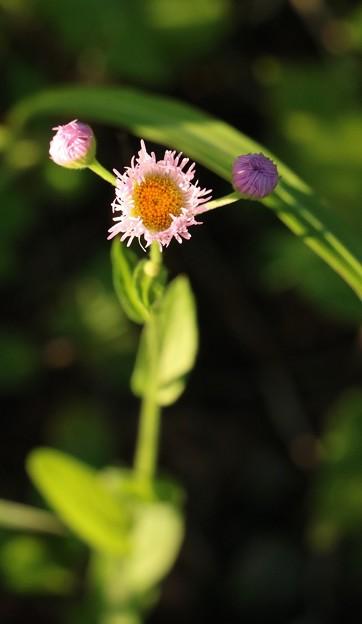 ハルジオン(春紫苑) キク科