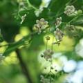 Photos: ツリバナ(吊り花) ニシキギ科