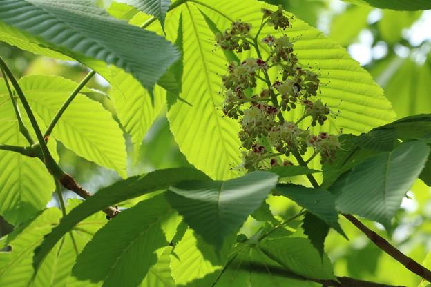 トチノキ(栃の木) トチノキ科 マロニエ