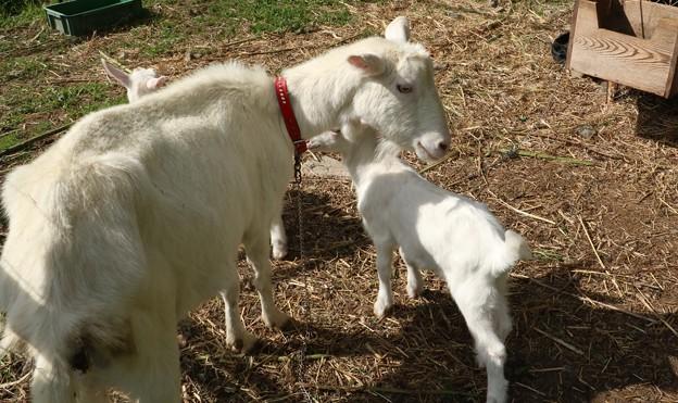 ヤギ(野羊、野羊) ウシ科