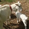 Photos: ヤギ(野羊、野羊) ウシ科