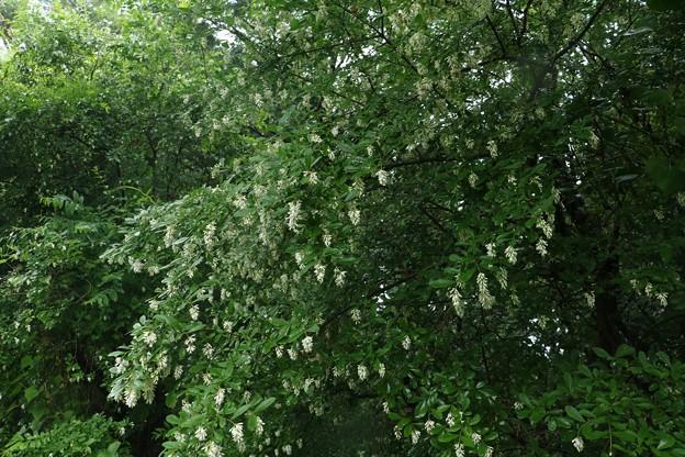 イボタノキ(水蝋樹・疣取木) モクセイ科