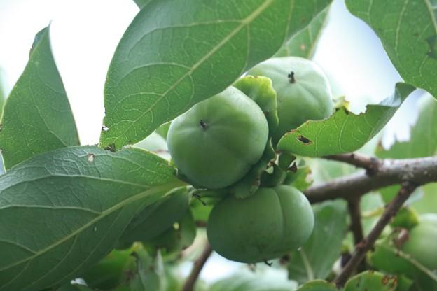 庭の次郎柿ジロウガキ(次郎柿) カキ科