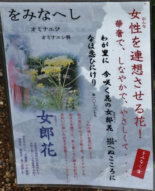 万葉集:をみなえし オミナエシ(女郎花) オミナエシ科