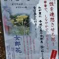 Photos: 万葉集:をみなえし オミナエシ(女郎花) オミナエシ科