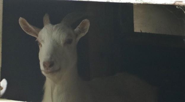 ヤギ(山羊、野羊) ウシ科