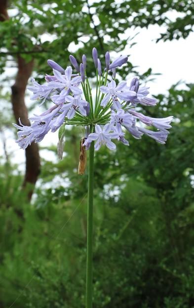 アガパンサス :ヒガンバナ科 和名:ムラサキクンシラン(紫君子蘭)