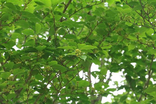 森林公園 自然いきもの観察隊 アオハダ(青膚・青肌) モチノキ科 別名:マルバウメモドキ(丸葉梅擬き)