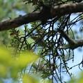 Photos: ひとりじめメジロ(目白)マツグミ寄生木の蜜を吸う~