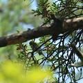Photos: わたし宿ってます~メジロ(目白) マツグミヤドリギ(松茱萸寄生木)