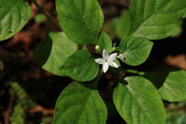 シロバナイナモリソウ(白花稲森草) アカネ科