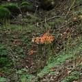 Photos: 咲き初めのオオキツネノカミソリ(大狐の剃刀) ヒガンバナ科