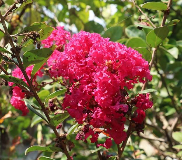 庭のサルスベリ(百日紅=ヒャクジツコウ) ミソハギ科