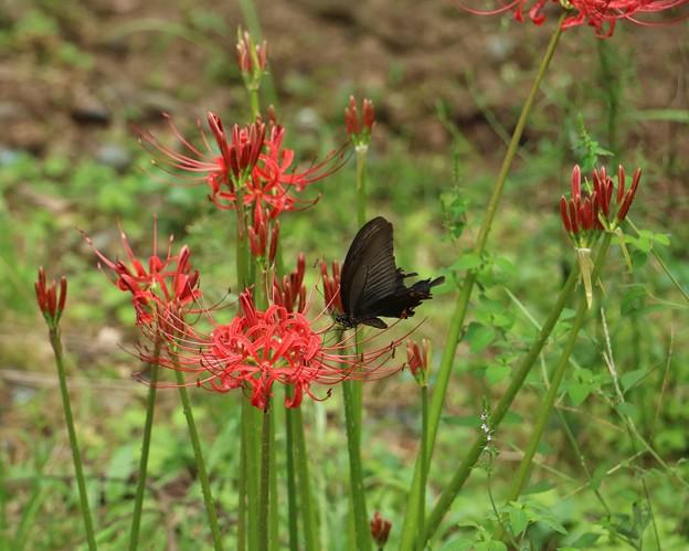 クロアゲハ(黒揚羽) チョウ目・アゲハチョウ科と ヒガンバナ(彼岸花)ヒガンバナ科