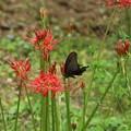 Photos: クロアゲハ(黒揚羽) チョウ目・アゲハチョウ科と ヒガンバナ(彼岸花)ヒガンバナ科