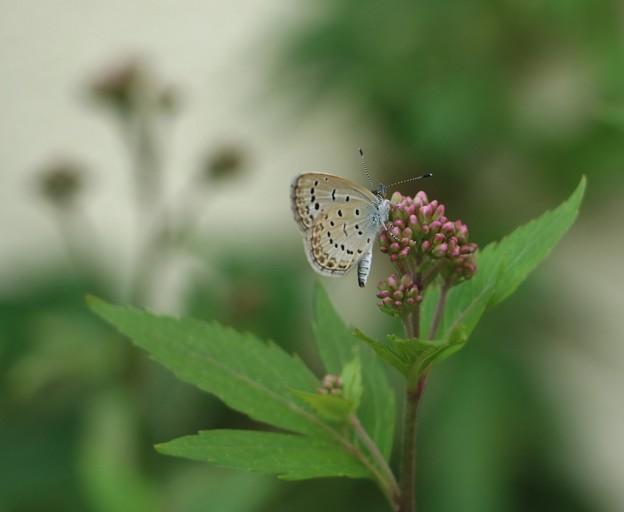 庭のフジバカマ(藤袴)キク科にヤマトシジミ(大和小灰蝶、大和蜆蝶) シジミチョウ科
