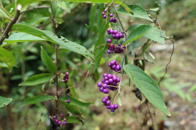 コムラサキシキブ(小紫式部) クマツズラ科