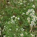 キダチコンギク(木立紺菊) キク科