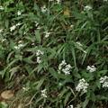 ヤマシロギク (山白菊) キク科別名:イナカギク(田舎菊)