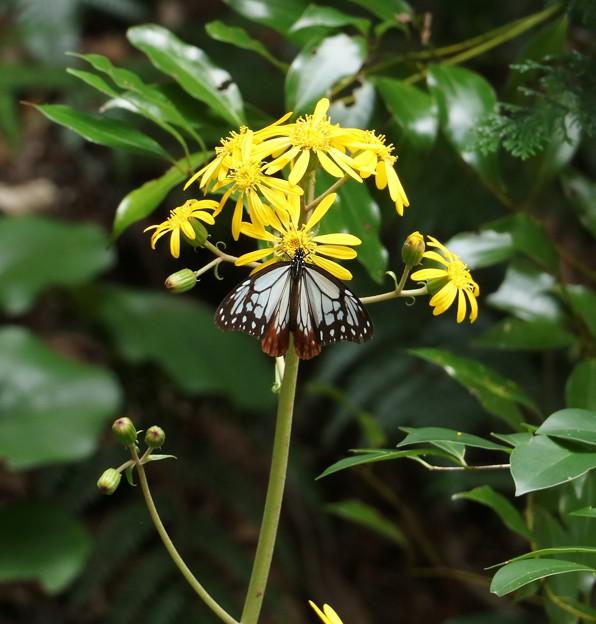 アサギマダラ(浅葱斑)  チョウ目タテハチョウ科とツワブキ(石蕗、艶蕗) キク科