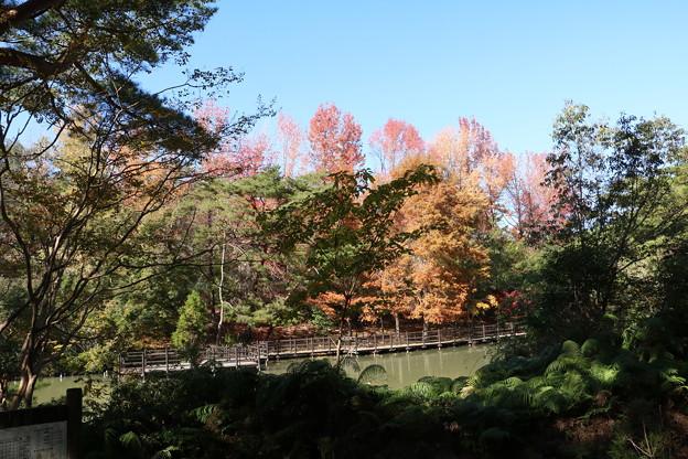 森林公園ラクウショウの黄葉 ラクウショウ(落羽松)  ヒノキ科 別名・和名:ヌマスギ(沼杉)
