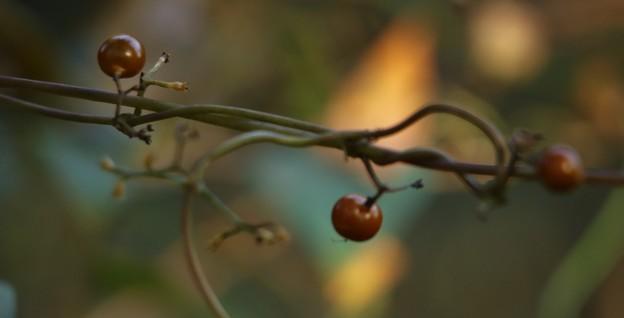 ヘクソカズラ(屁糞蔓) アカネ科 別名:ヤイトバナ(灸花)/サオトメバナ (早乙女花)/サオトメカズラ(早乙女蔓)