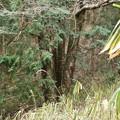 Photos: 12~13年前の昔、犬ザクラの大木に標たテープが今も付いて残って居ます。