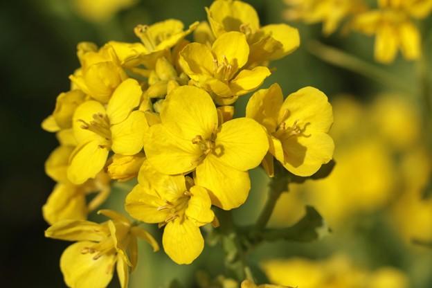 ナノハナ(菜の花) アブラナ科 セイヨウアブラナ(西洋油菜)別名:「花菜」(はなな) 「菜花」(なばな) 「菜種」(なたね)