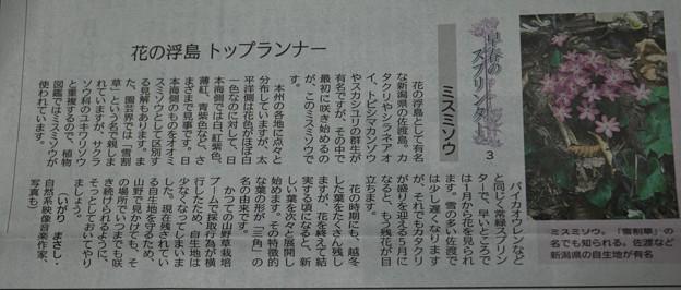 今日の夕刊地元新聞にミスミソウ(雪割草)が・・・