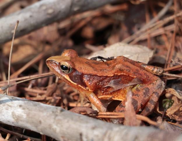 ニホンアカガエル(日本赤蛙) アカガエル科 アカガエル属